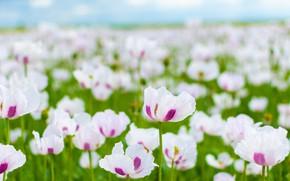 Картинка поле, цветы, маки, белые, боке, маковое поле