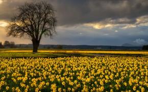 Картинка небо, цветы, дерево, нарциссы