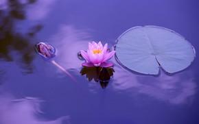 Картинка листья, розовая, водоем, нимфея, водяная лилия, сиреневый фон