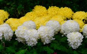 Картинка листья, капли, желтые, лепестки, сад, белые, клумба, хризантемы, много, пышные, махровые
