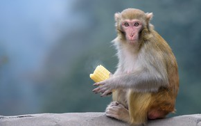 Картинка взгляд, камень, кукуруза, обезьяна, сидит, початок, трапеза, мартышка