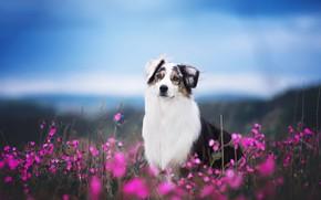 Картинка поле, морда, цветы, собака, аусси