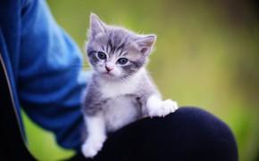 Картинка взгляд, малыш, котёнок, на коленях
