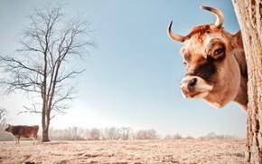 Картинка поле, взгляд, морда, дерево, корова