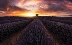 Картинка поле, солнце, свет, дерево, лаванда
