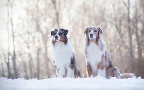 Картинка зима, собаки, снег, пара, друзья, австралийская овчарка, аусси