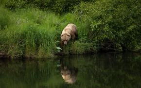 Картинка лето, трава, природа, поза, отражение, река, берег, листва, медведь, прогулка, кусты, водоем, бурый, рыболов, идет …