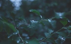 Картинка Природа, Капли, Листья, Растение, Ветка, Ветки, Растения, Nature, Fresh, Leaf, Flora, Plants, Branches, Drops, Сезон, …