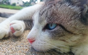 Картинка cat, blue eyes, animal, paws, fur, sly, whiskers, feline, snout, sneaky, siamese
