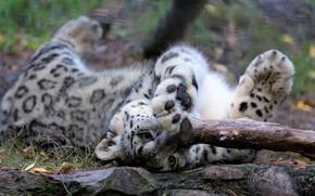 Картинка кошка, морда, поза, лежит, ирбис, снежный барс, барс