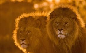 Картинка взгляд, морда, лев, пара, грива, царь зверей, львы, дикая кошка