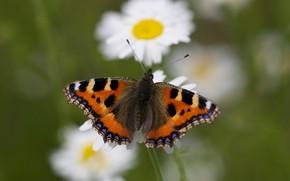 Картинка макро, цветы, фон, бабочка, ромашки, насекомое, крапивница