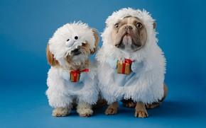 Картинка собаки, овцы, собака, Рождество, костюм, Новый год, овечки, парочка, болонка, голубой фон, французский бульдог, ягнята