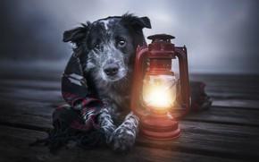 Картинка животное, доски, собака, фонарь, плед, пёс, бордер-колли