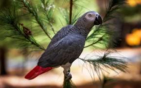 Картинка птица, ветка, попугай, боке, жако