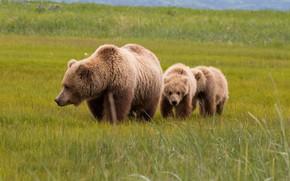 Картинка поле, лето, трава, взгляд, морда, природа, поза, поляна, медведь, медведи, пара, три, медвежонок, прогулка, малыши, …