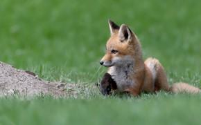 Картинка трава, взгляд, поза, поляна, весна, малыш, лиса, лежит, профиль, мордашка, лужайка, зеленый фон, лисенок, лисёнок