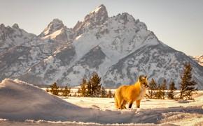 Картинка зима, снег, пейзаж, горы, природа, животное, лиса, Вайоминг, США, лисица, национальный парк, Гранд-Титон, Grand Tetons