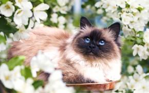 Картинка кошка, цветы, весна, мордочка, пушистая
