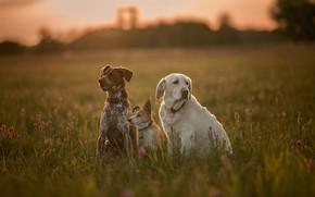 Картинка собаки, трава, луг, трио, друзья, троица