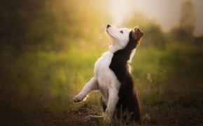 Картинка фон, собака, малыш, щенок, стойка, бордер-колли