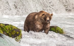 Картинка взгляд, морда, природа, поза, река, камни, течение, водопад, мох, поток, медведь, купание, охота, водоем, бурная, ...