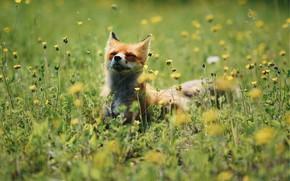 Картинка лето, трава, цветы, лиса, нежится
