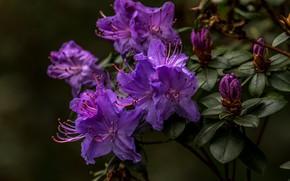 Картинка листья, цветы, ветки, темный фон, сиреневые, азалия, рододендроны