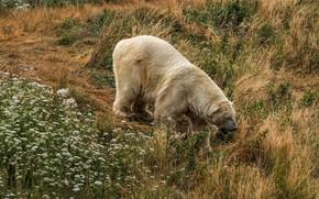 Картинка белый, трава, цветы, природа, медведь, холм, мишка, прогулка, белый медведь, полярный