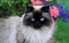 Картинка кошка, кот, взгляд, морда, цветы, природа, портрет, сиамская, колор-пойнт, рэгдолл