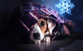Картинка взгляд, собака, плед, мордашка, снежинка