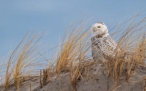 Картинка песок, трава, сова, птица, горка, полярная, полярная сова, арктическая