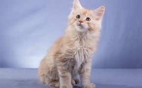 Картинка кошка, взгляд, поза, котенок, рыжий, мордочка, сидит, голубой фон, мейн-кун, фотостудия