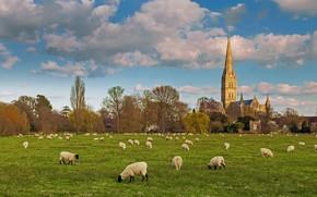 Картинка овцы, Англия, Собор Девы Марии, Солсбери, стадо
