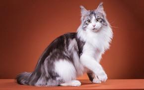 Картинка кошка, кот, взгляд, поза, котик, лапки, пушистый, мордочка, милый, окрас, сидит, полосатый, порода, кисточки, коричневый …