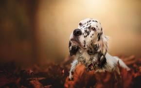 Обои грусть, осень, взгляд, морда, листья, природа, фон, листва, собака, ошейник, сеттер, пестрая