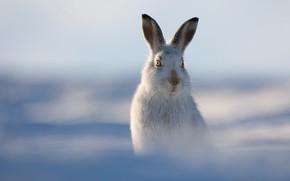 Картинка зима, заяц, боке