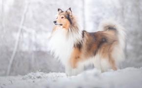 Картинка зима, взгляд, снег, природа, собака, снегопад, колли