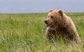 Картинка поле, трава, взгляд, морда, природа, поза, медведь, мишка, сидит, бурый, медведица