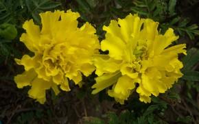 Картинка осень, цветы, жёлтые, бархатцы, Meduzanol ©