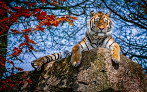 Картинка осень, небо, взгляд, листья, свет, ветки, тигр, листва, камень, лапы, красные, лежит, тени, голубой фон, …