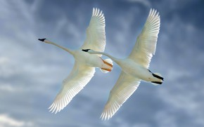 Картинка небо, птицы, крылья, полёт, парочка, лебеди