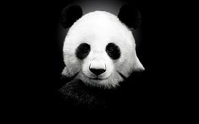 Картинка фон, панда, чёрный фон