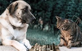 Картинка зелень, кошка, лето, трава, кот, взгляд, морда, природа, поза, парк, серый, поляна, игра, собака, шахматы, …
