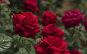 Картинка розы, сад, красные
