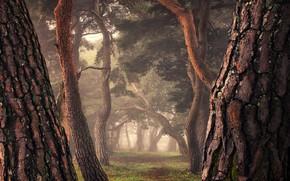 Картинка туман, аллея, большие деревья