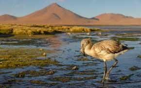 Картинка горы, птица, берег, фламинго, водоем