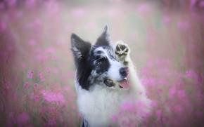 Картинка поле, язык, лето, взгляд, морда, цветы, поза, поляна, лапа, портрет, собака, розовые, бордер-колли, иван-чай