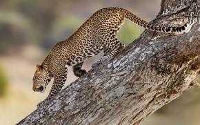 Картинка дерево, леопард, хищник, дикая кошка