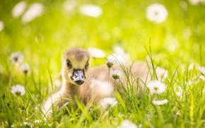 Картинка лето, природа, Little goose